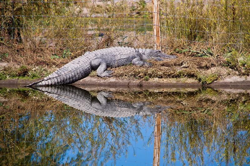 "Alligator at Colorado Gators near Alamosa, Colorado. These ""Gators"" clean up the waster for a tilapia fish farm."