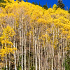 Aspen trees and autumn color along the Ohio Pass Road, Colorado 730, in Colorado.