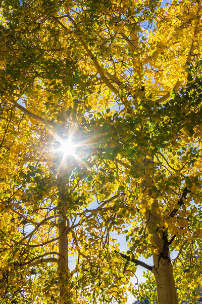 Aspen trees and autumn color along the Ohio Pass Road, Colorado 730, in Colorado.
