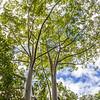Rainbow Eucalyptus tree, Eucalyptus deglupta, on the Road to Hana on the island of Maui in Hawaii.
