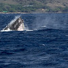 Humpback Whale, Megaptera novaeangliae, spyhopping off the west coast of the island of Oahu in Hawaii.