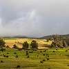 Cattle at pasture on the slopes of Haleakala volcano National Park on Maui in Hawaii.