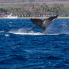 Humpback Whale, Megaptera novaeangliae, off the Western Coast of the island of Maui in Hawaii.