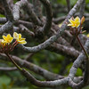Plumeria flowers in bloom at Hamoa Beach park on the Road to Hana on Maui.