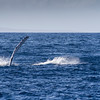 Humpback Whales, Megaptera novaeangliae, entertaining tourists on whale watching tours off the coast of Maui in Hawaii.