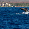 Humpback Whale calf, Megaptera novaeangliae, breaching off the Western Coast of the island of Maui in Hawaii.