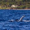 Humpback Whale, Megaptera novaeangliae, off the Western Coast of the island of Maui in Hawaii.