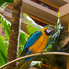 Friendly Macaw entertains tourists at Hyatt Regency resort on Maui.