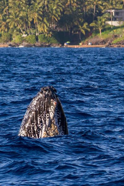 Humpback Whale, Megaptera novaeangliae, spyhopping off the Western Coast of the island of Maui in Hawaii.