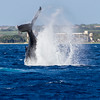 Humpback Whale, Megaptera novaeangliae, breaching off the Western Coast of the island of Maui in Hawaii.