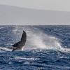 Humpback Whale, Megaptera novaeangliae, breaching off the Western Coast of the island of Maui in Hawaii.