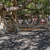 This Banyan Tree was planted in April, 1873, and marked the 50th Anniversary of Christian missionary work in Lahaina. The tree was imported from India and was only 8 feet tall. It now stands over 60 feet high, has 12 major trunks in addition to a huge core. It stretches over a 200-foot area and shades 2/3 of an acre. Caring members of the community carefully maintain the symmetrical shape of the Banyan Tree. It is one of the largest Indian Banyan trees in the world, and is considered the largest Banyan tree in the United States.