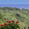 African Tulip tree, Spathodea Campanulata, a very invasive species, growing along the Road to Hana on Maui in Hawaii.