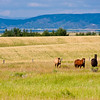 Horses in field on Idaho farm.