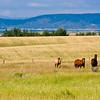 Horses in field on Idaho farm.