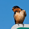 Barn Swallow, Hirundo rustica, perching and preening on a Pet Area sign in parking area of rest stop on Idaho scenic highway 20, near Arco, Idaho.