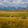 Hay bales and incredibly vast fields of grain are typical of the high plains of Montana. Large scale grain farming and cattle ranching on these almost treeless plains create vistas that seem to go on uninterrupted as far as the eye can see.
