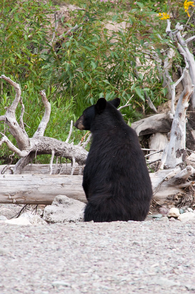 American Black Bear, Ursus americanus, on the path to Running Eagle Falls in the Two Medicine area of Glacier National Park in Montana. Black Bears are the most common and the smallest bears in North America, and they are endangered in Florida, Louisiana, Texas and Mississippi.