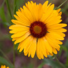 Blanketflower, Gaillardia aristata, blooming in Two Medicine area of Glacier National Park in Montana. Blanketflower is a perennial herb which grows up to 16 inches tall. It is common in montane meadows, grasslands, and woodlands. Used by Native Americans to make dye for blankets, also as an herb to treat skin lesions and cold symptoms.