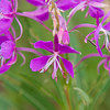 Fireweed Wildflower, Chamerion angustifolium, in the Two Medicine area of Glacier National Park in Montana. Fireweed blooms from July through September. Herbalists make a fireweed tea to relieve digestive problems.