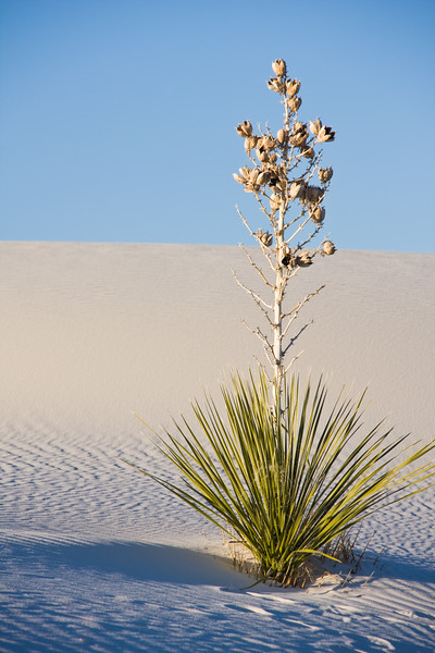 Yucca Plant on Sand dunes at White Sands  National Monument in New Mexico on a cold morning in February. White Sands park is at the northern end of the Chihuahuan Desert in the mountain-ringed valley called the Tularosa Basin. Great wave-like dunes of gypsum sand cover 275 square miles of desert, the world's largest gypsum sand field.