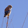 American Kestrel, Falco sparverius, at Bosque del Apache National Wildlife Refuge in New Mexico.