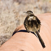 Greater Roadrunner, Geococcyx californianus, in parking lot of White Sands National Monument.