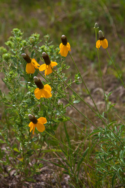 "Mexican Hat, Ratibida columnaris. ""Yellow Variety"" also known as Yellow Coneflower and Prairie Coneflower, in Custer State Park in South Dakota."