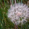 Wind blown seed head creates beautiful patterns in South Dakota meadow. Probably a false dandelion species.