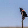 Red-winged Blackbird at Anahuac National Wildlife Refuge in Southeastern Texas.
