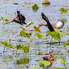 Black-bellied Whistling-Duck in flight over Shoveler's Pond in Anahuac National Wildlife Refuge in Texas.