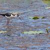 Black-necked Stilt on Shoveler's Pond at Anahuac National Wildlife Refuge in Southeastern Texas.