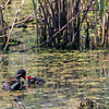 Common Gallinule with chicks at Shoveler's Pond at Anahuac National Wildlife Refuge in Southeastern Texas.