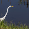 Great Egret in Anahuac National Wildlife Refuge in Southeastern Texas.