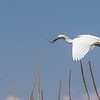 Snowy Egret in flight over Shoveler's Pond at Anahuac National Wildlife Refuge in Southeastern Texas.