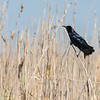Common Grackle in Anahuac National Wildlife Refuge in Texas.