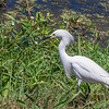 Snowy Egret at Shoveler's Pond at Anahuac National Wildlife Refuge in Southeastern Texas.