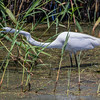 Great Egret stretching neck, stalking prey on Shoveler's Pond at Anahuac National Wildlife Refuge in Southeastern Texas.
