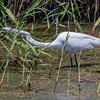 Great Egret stretching neck, stalking prey on Shoveler's Pond at Anahuac National Wildlife Refuge in Southeastern Texas.