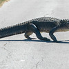 American Alligator crossing the road around Shoveler's Pond in Anahuac National Wildlife Refuge in Texas.