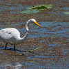 Great Egret on Shoveler's Pond at Anahuac National Wildlife Refuge in Southeastern Texas.