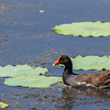 Common Gallinule in breeding plumage on Shoveler's Pond at Anahuac National Wildlife Refuge in Southeastern Texas.