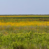 Plains Coreopsis (Tickseed) Coreopsis at Anahuac National Wildlife Refuge in Southeastern Texas.