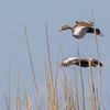 Black-bellied Whistling Ducks in flight over Shoveler's Pond at Anahuac National Wildlife Refuge in Southeastern Texas.