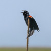 Red-winged Blackbird perched on reed in Anahuac National Wildlife Refuge in Texas.