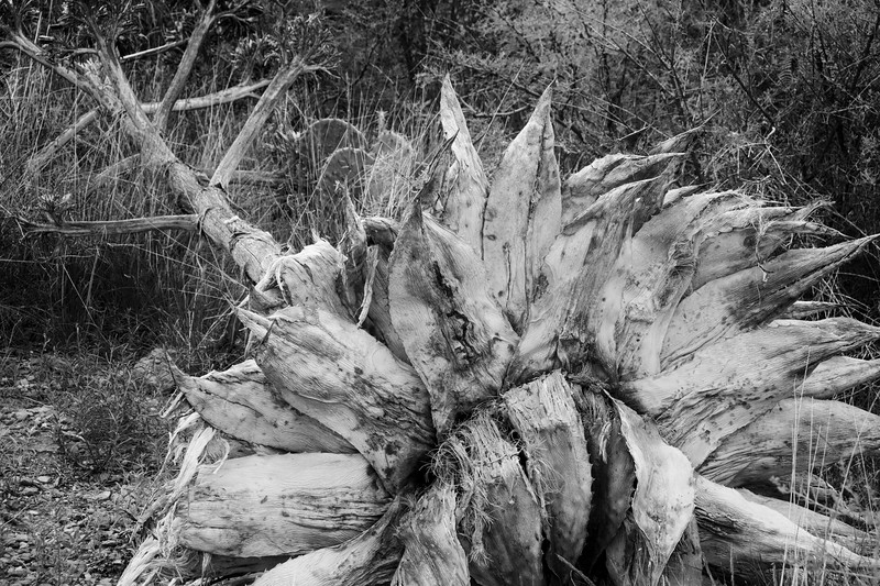 Dead Century Plant Agave in Big Bend National Park.