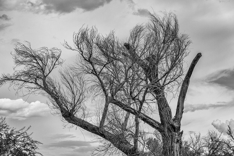 Bare tree with storm clouds developing at Dugout Wells in Big Bend National Park.