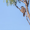 Cactus Wren in Mesquite tree at Panther Junction in Big Bend National Park.