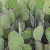 Blind Prickly Pear cactus in Big Bend National Park.