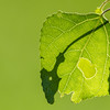 Abstract patterns and color in backlit green leaves.